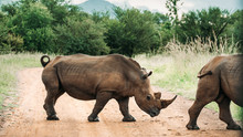 Close Up Image Of Two White Rhinoceros Walking Across A Path In The Pilansberg, South Africa