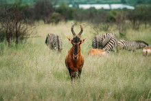 Red Hartebeest Looking Into Th...