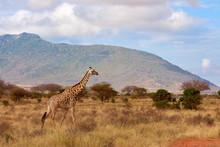 View Of The Giraffe In Tsavo N...