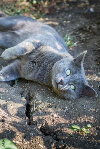 Fotografie, Obraz  Russian Blue Cat laying on the ground
