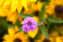 Violet Verbena Flowers On Blurred Yellow Background With Rain Drops Is In The Garden At Summer, Macro Close-up.