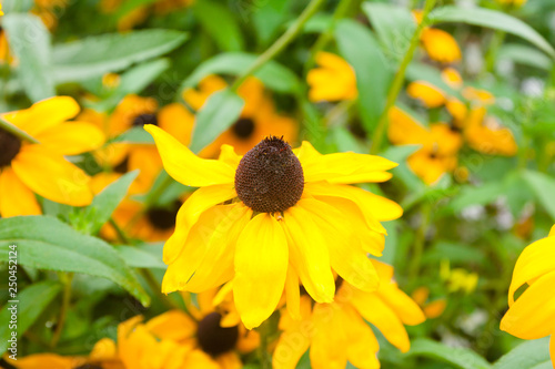 Fotografering  Bright yellow Rudbeckia Fulgida cone flowers with dark brown capitula are blossoming in the garden at summer