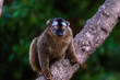 Lemur mongoose, Eulemur mongoz Lemuridae, resting on a branch in a jungle.