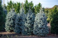 Beautiful Young Colorado Blue Spruce Growing On Plantation, Natural Christmas Tree For Christmas Holidays