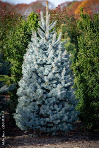 Fototapeta Beautiful young Colorado blue spruce growing on plantation, natural Christmas tree for Christmas holidays obraz