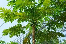 Carica Papaya Green Tree