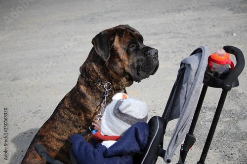 Fotografía  chien et bébé : cane corso