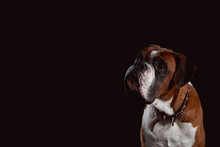 A Red Boxer Dog Looking Up Wai...
