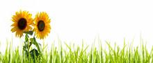Leuchtende Sonnenblumen Freige...