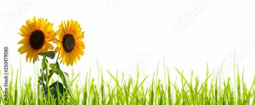 leuchtende sonnenblumen freigestellt Canvas Print