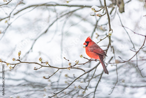 Photo One red northern cardinal, Cardinalis, bird sitting perched on tree branch durin