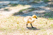 Closeup Of One Baby Gosling Goose Bird Chick On Lawn Grass Plants In Sunny Sunlight With Cute Eyes And Flippers
