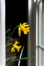 Two Yellow Daffodil Flowers Si...