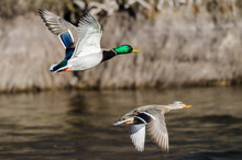 Pair Of Mallard Ducks Flying Over The Flowing River