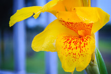 Close Up Yellow Canna Lily Flower With Green Leaves Background.