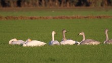 Whooper Swans Lying In The Grass