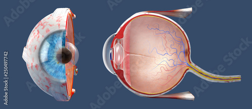 Pinturas sobre lienzo  3D illustration of a cross-section of the human eye in a side view and a frontal