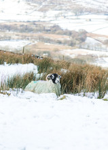 Swaledale Sheep On Snowy, Exposed Fell In Wensleydale.  Swaledale Sheep Are A Native Breed Of North Yorkshire, England. UK.  Landscape, Horizontal.