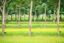 Mixed Farming By Planting Rubb...