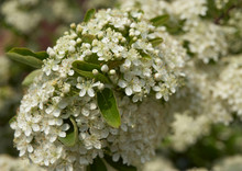 PYRACANTHA FIRETHORN BLOSSOM IN CLOSE UP