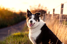 Border Collie At Sunset