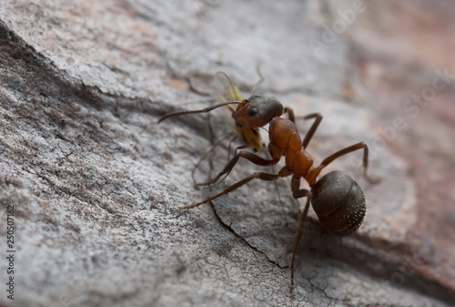 Photo Wood ant, Formica with caught aphid