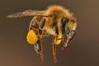 canvas print picture - Honigbiene Pollenhöschen