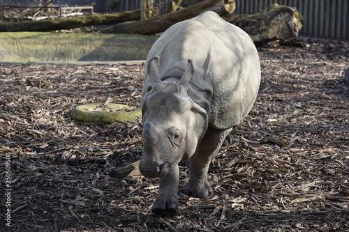 Acrylic Prints Rhino Neushoorn