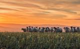 Stado owiec o zachodzie słońca w Shropshire - 250512795