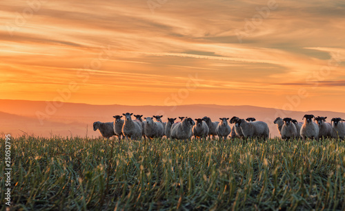 Herd of Sheep at Sunset in Shropshire