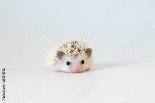 Fotografía Cute baby hedgehog