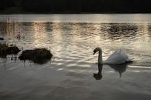 Swan On Lake At Sunset In Winter