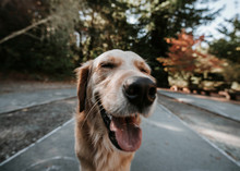 Close-up Of Golden Retriever With Eyes Closed Standing On Footpath At Park