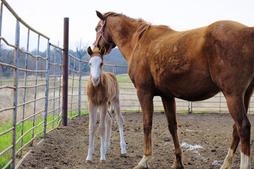 Cute foal with mare horse on farm, shows animal family concept.