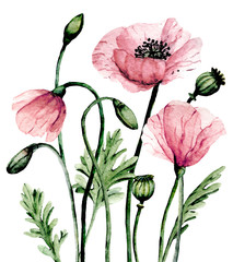 Fototapeta Do pokoju Flowers pink poppies, watercolor painting for greeting card, wedding invitation, summer wed design, holiday decoration. Isolated on white background.