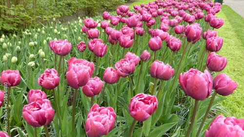 Photo Stands Candy pink Pink tulips in park on spring time.
