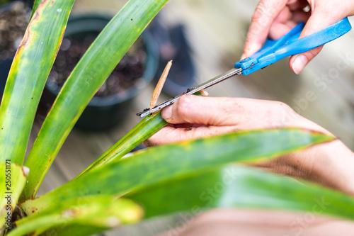 Fotografía  Woman hands cutting propagating potted dracena green plant pot flowerpot outside
