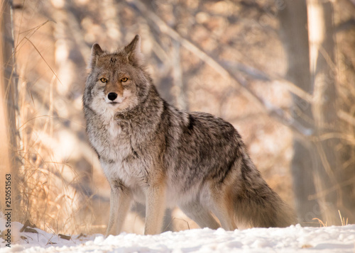 Canvas Print Coyote Posing