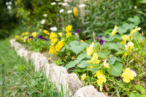 Group of many yellow pansy flowers growing in garden during summer season with leaves pattern on flowerbed with stone decorations