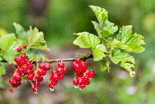 Hanging Red Currant Berries Macro Closeup With Rain Water Dew Drops On Stem Of Plant Bush With Bokeh In Russia Or Ukraine Garden Dacha Farm With Vibrant Color