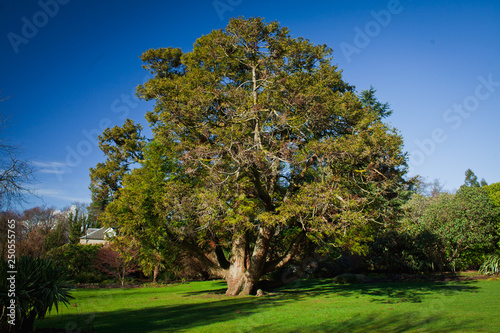 Fototapeta Old yew tree in the garden.