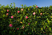 Camellia - A Beautiful Hedge P...