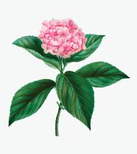 French Hydrangea