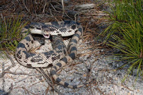Northern Pine snake on white sand - Pituophis melanoleucus