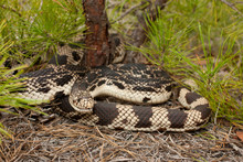 Northern Pine Snake On White S...