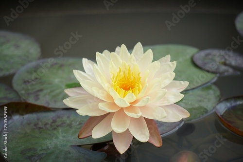 Recess Fitting Lotus flower Lotus blossom in the pond