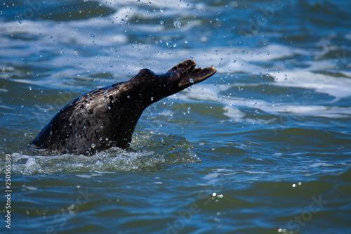 Photo  Harbor seal in California Coastal, the tail