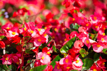 Begonia, Begonia Spp. & Hybirds. In The Garden, Blurred And Bokeh Background, Selective Focus, Close Up & Macro Shot