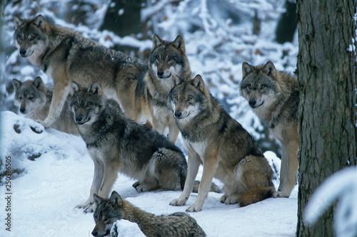 Foto  European gray wolf (Canis lupus lupus)