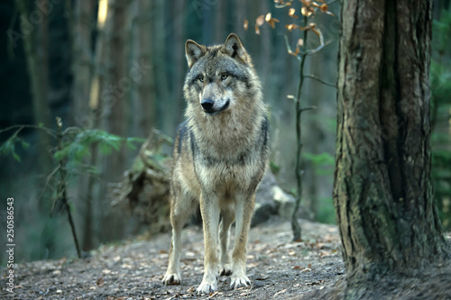 Photo sur Toile Loup European gray wolf (Canis lupus lupus)